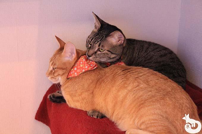 猫カフェTiME(タイム)の猫|あずきとペコ