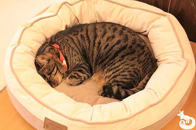 猫カフェTiME(タイム)の猫|きなこ