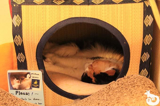 猫カフェTiME(タイム)の猫|みかん