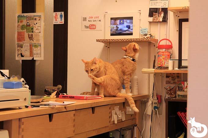 猫カフェTiME(タイム)の猫|ポンとゆず