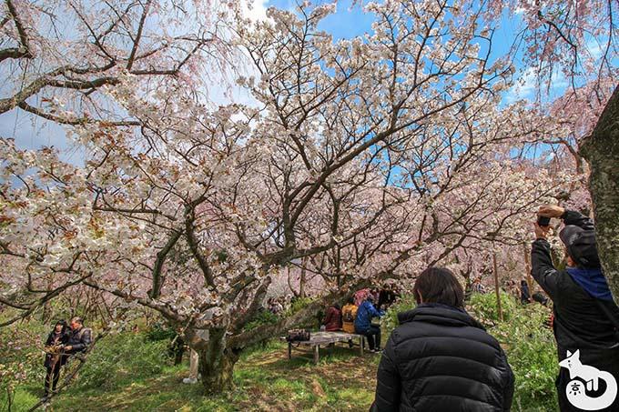 原谷苑|御室桜