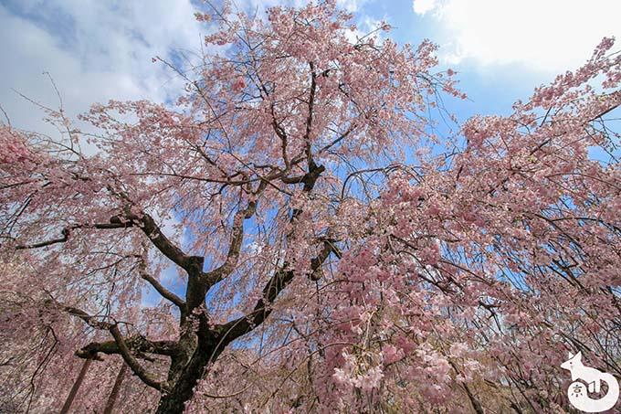 原谷苑|樹齢70年以上の桜
