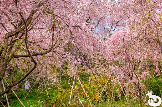 原谷苑|桜の海
