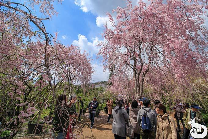 原谷苑|枝垂れ桜