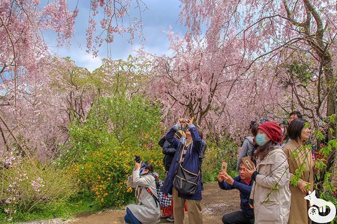 原谷苑で桜を撮影している方たち