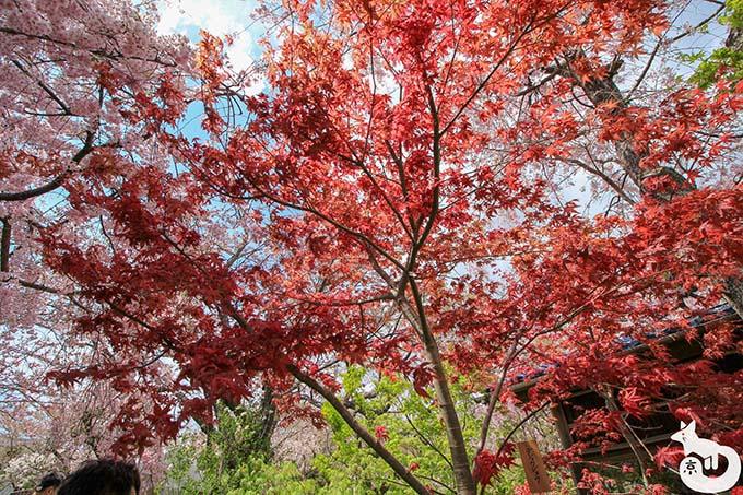 原谷苑の紅葉