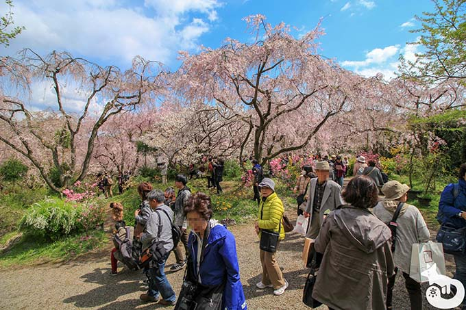 原谷苑の桜|苑内の混雑状況