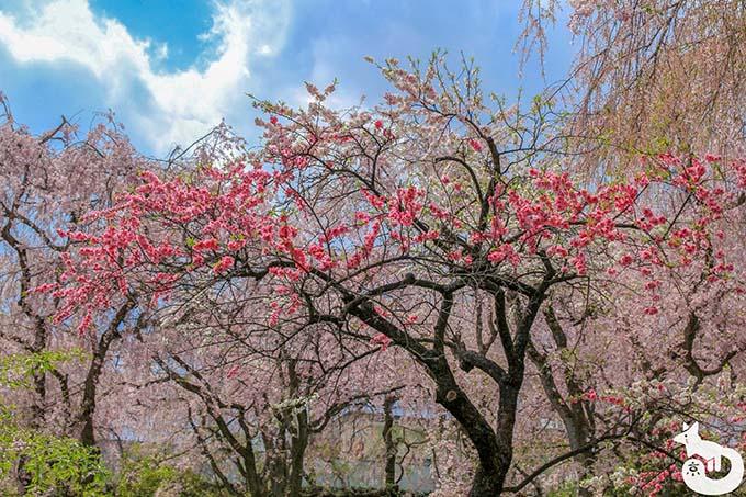 原谷苑の紅梅