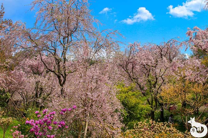 原谷苑の草花