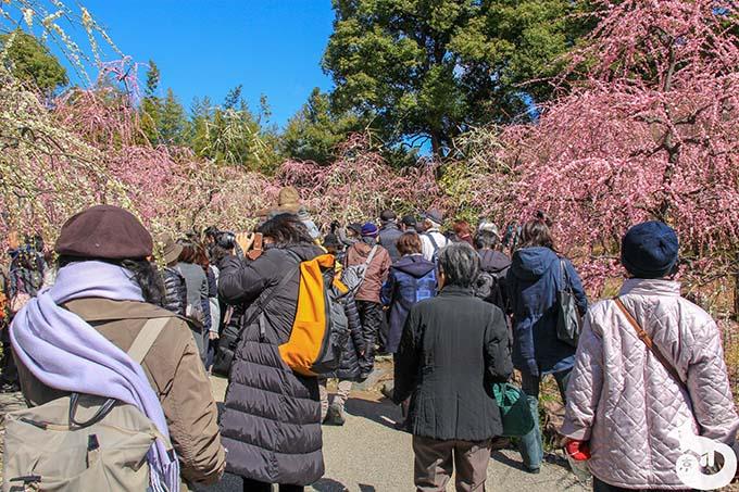 城南宮 しだれ梅と椿まつり|神苑 春の山の混雑状況 その1