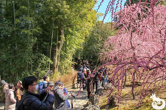 城南宮 しだれ梅と椿まつり|神苑 春の山の混雑状況 その2