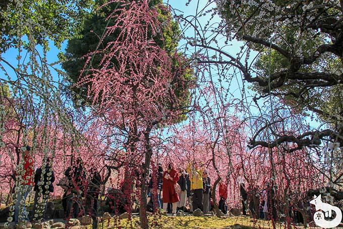 城南宮 しだれ梅と椿まつり|神苑 春の山の混雑状況 その3
