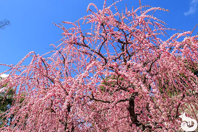城南宮 しだれ梅と椿まつりの見どころ|しだれ梅