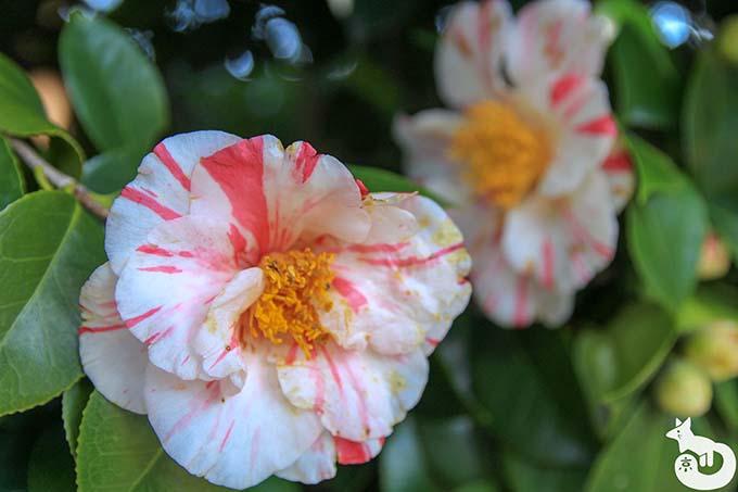 城南宮 しだれ梅と椿まつりの見どころ|椿
