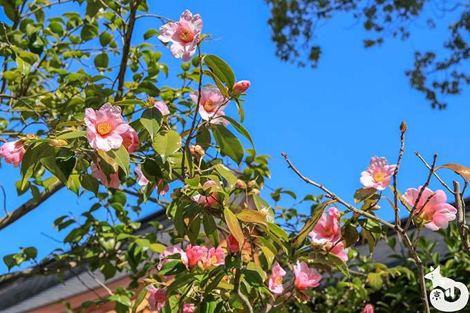 城南宮 しだれ梅と椿まつり|神苑入り口付近の椿