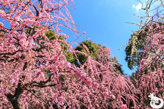 城南宮 しだれ梅と椿まつり|しだれ梅