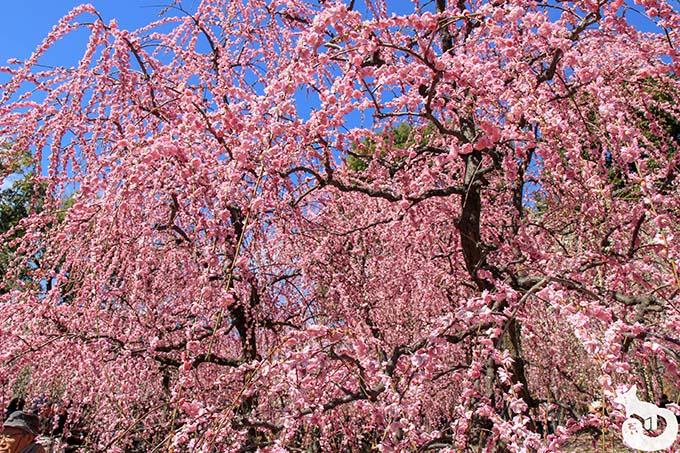 城南宮 しだれ梅と椿まつり|満開のしだれ梅