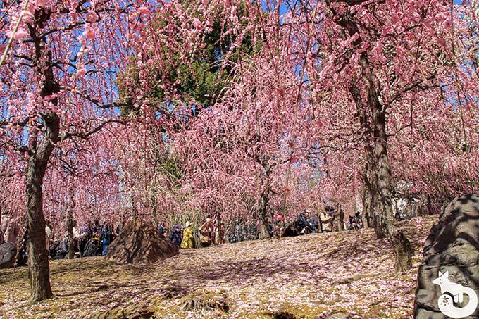 城南宮 しだれ梅と椿まつり|しだれ梅の風景