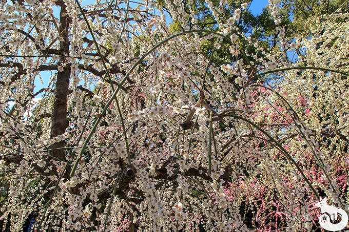 城南宮 しだれ梅と椿まつり|白梅