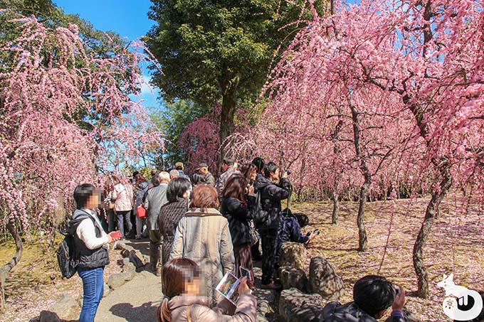 城南宮 しだれ梅と椿まつり|しだれ梅を撮影する参拝客