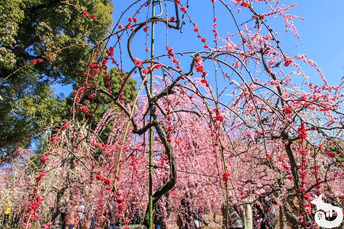 城南宮 しだれ梅と椿まつり|紅梅