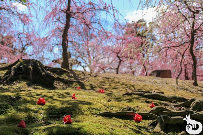城南宮 しだれ梅と椿まつり|散り椿