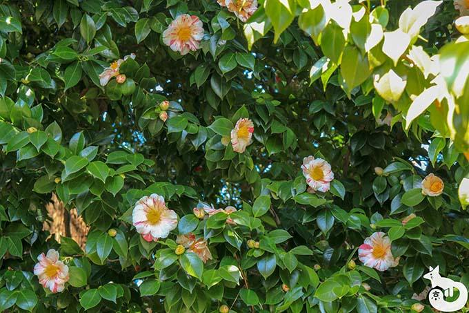 城南宮 しだれ梅と椿まつり|椿