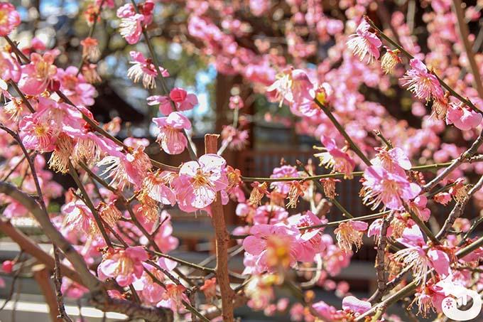 城南宮 しだれ梅と椿まつり|神楽殿付近の紅梅