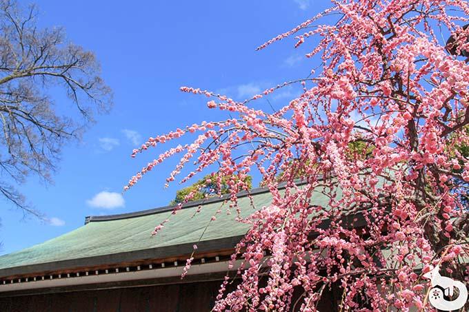 城南宮 しだれ梅と椿まつり|神輿舎付近のしだれ梅
