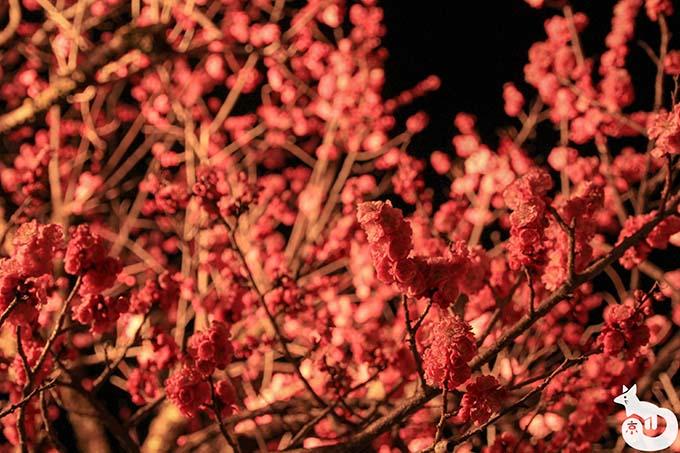 北野天満宮 梅のライトアップ|梅
