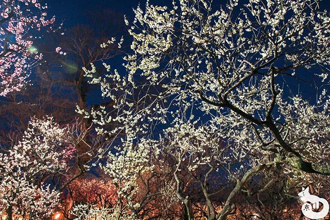 北野天満宮 梅のライトアップ ライトアップ開始