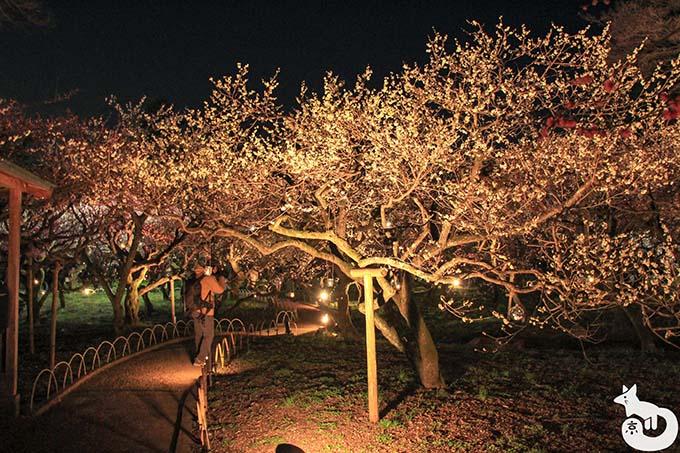 北野天満宮 梅のライトアップ 梅の木