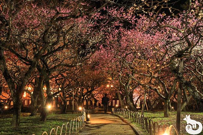 北野天満宮 梅のライトアップ 梅のトンネル