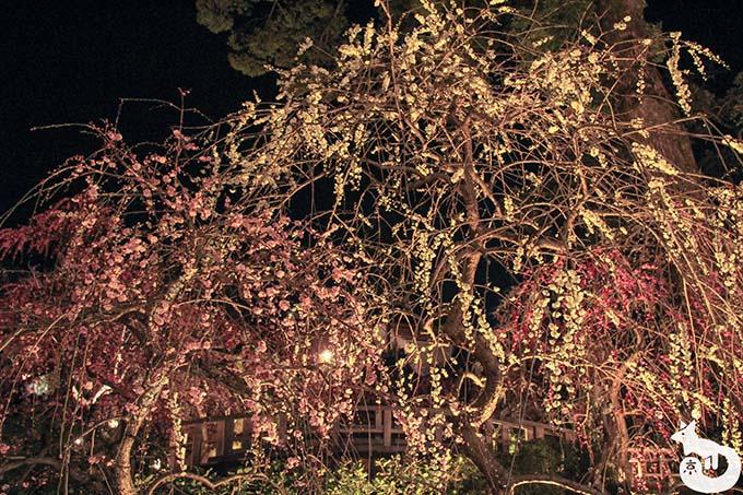 北野天満宮 梅のライトアップ 梅の花