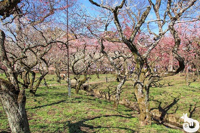 北野天満宮の梅鑑賞|梅苑の様子