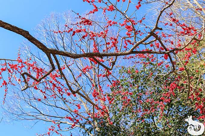 北野天満宮の梅鑑賞|御土居の梅