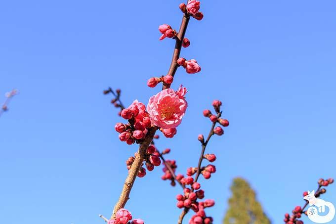 北野天満宮の梅鑑賞|紅梅