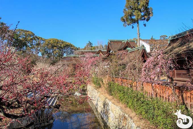 北野天満宮の梅鑑賞|庭園の梅