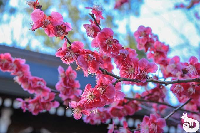北野天満宮の梅鑑賞|ピンクの梅