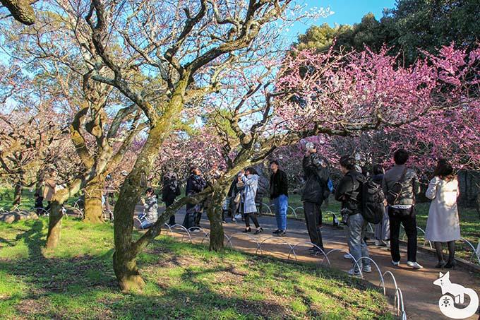 北野天満宮の梅鑑賞|梅を撮影する人