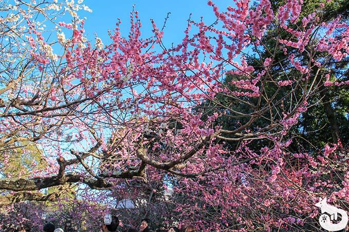 北野天満宮の梅鑑賞|満開の梅