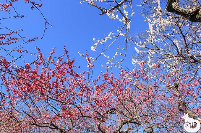 北野天満宮の梅鑑賞|白とピンクの梅の組み合わせ
