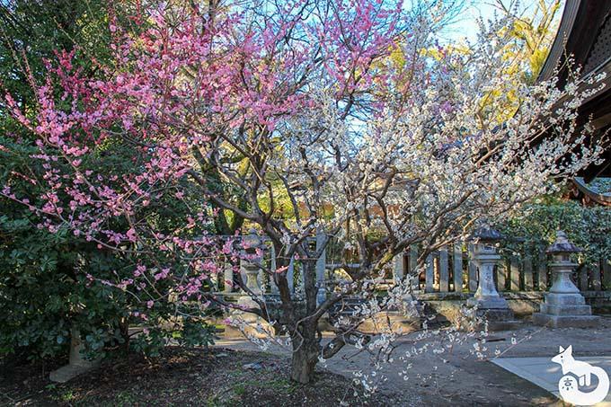 北野天満宮の梅鑑賞|源平の咲き分け