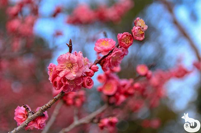 北野天満宮の梅鑑賞|ご神木の梅「紅和魂梅」