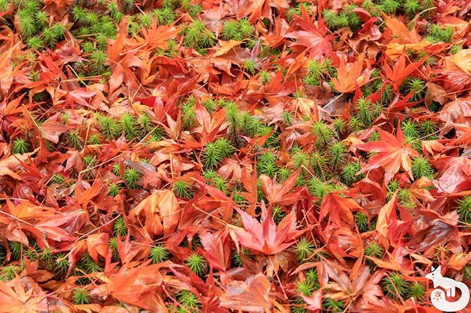 三千院 散り紅葉