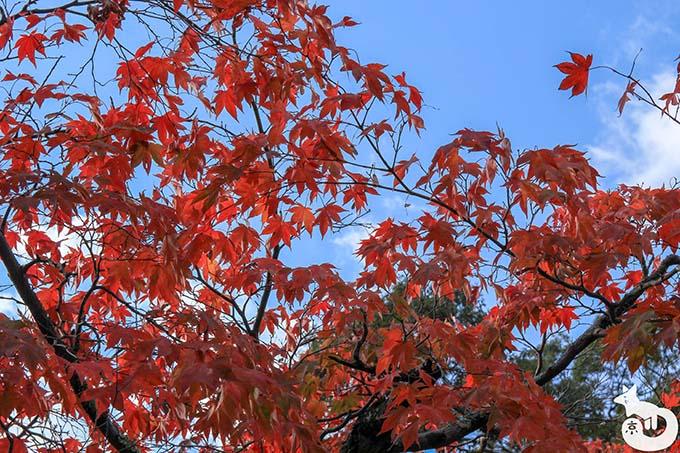 大原野神社 深紅の紅葉