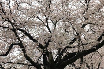 京都駅から原谷苑への行き方