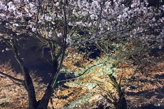 東寺の桜情報