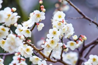 梅宮大社の梅|2018年の見頃や梅産祭情報