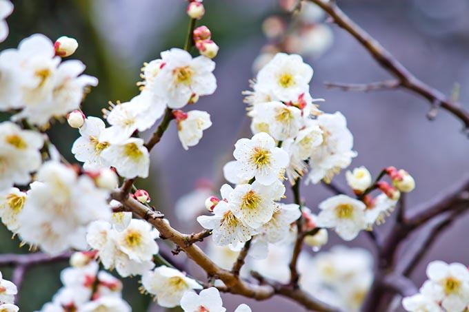 京都の梅の名所